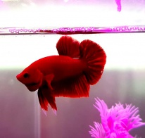 Cá Betta Super Red PK