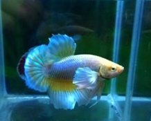 Betta Dumbo Dứa