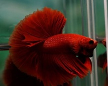 Betta Hafmoon Super Red