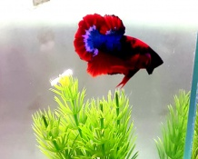 Betta Red Fancy