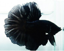 CÁ BETTA HAFMOON ĐEN( Black)